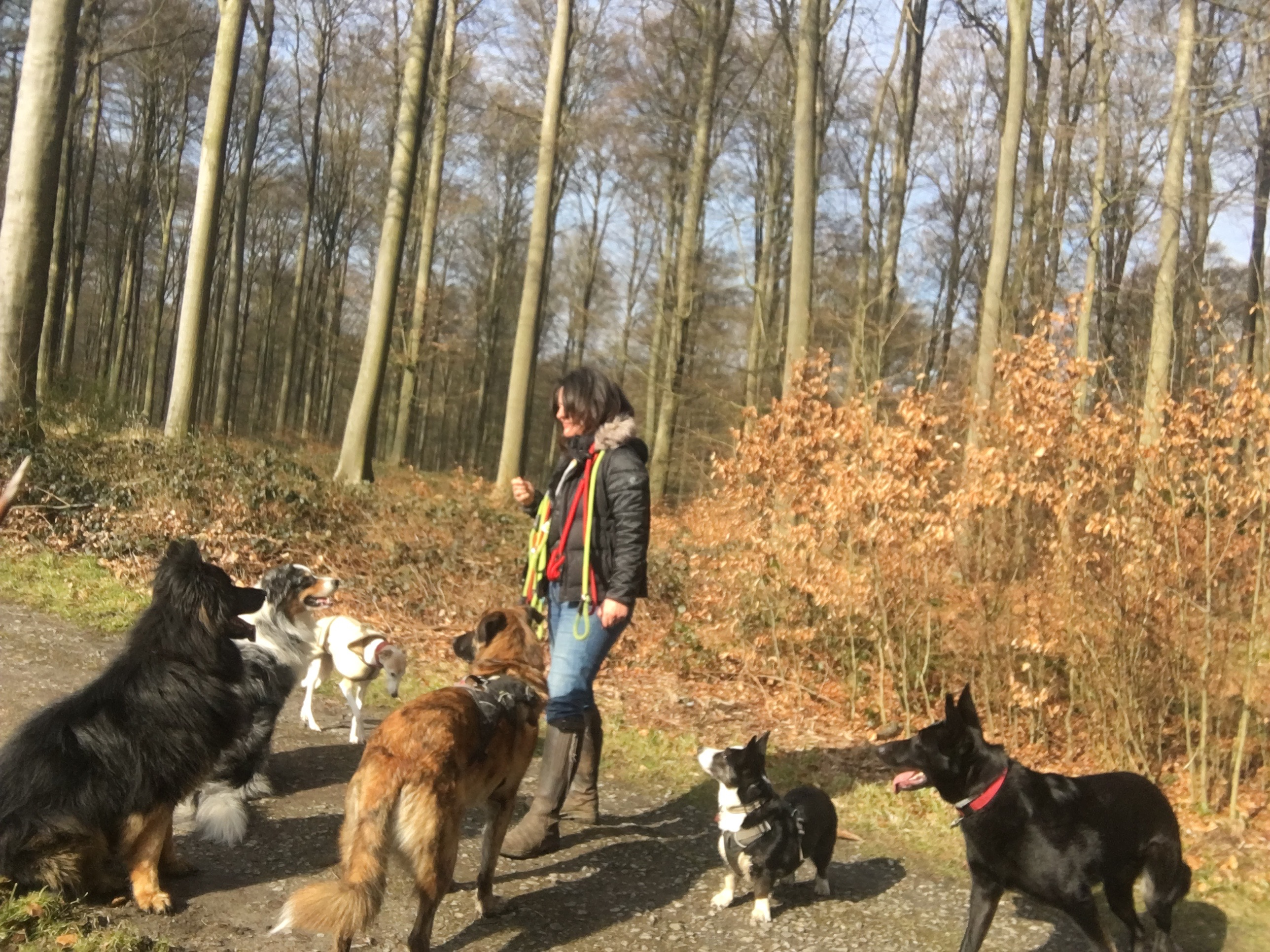 dog walker with big dogs